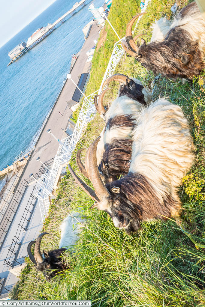 Long-horned goats grazing on the grassy of the west cliff in Cromer