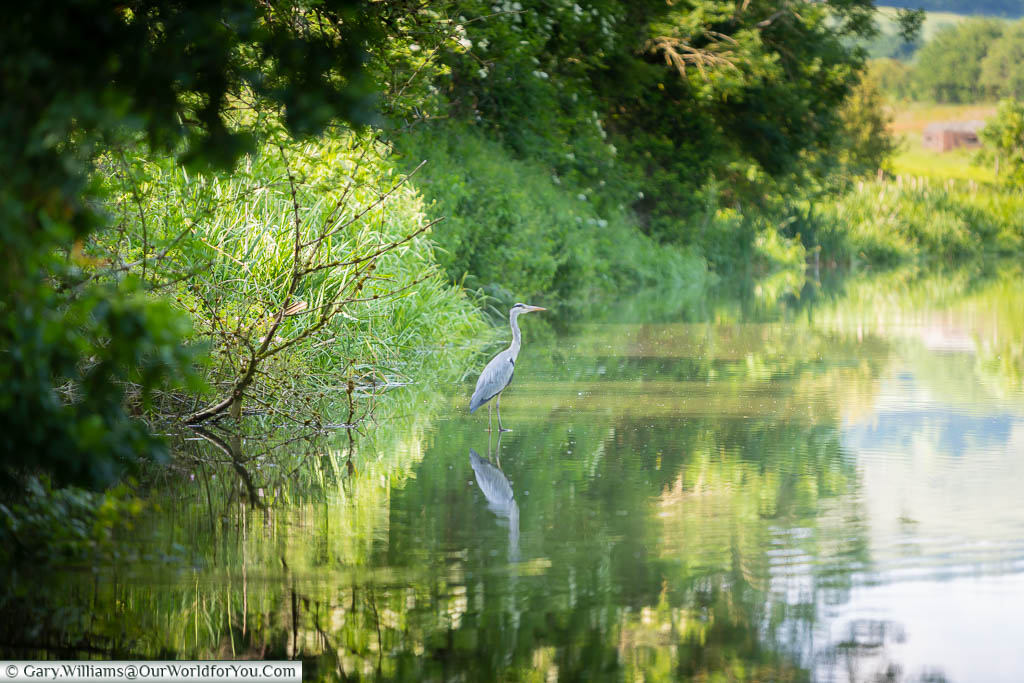 A grey heron wading in the Kennet and Avon Canal