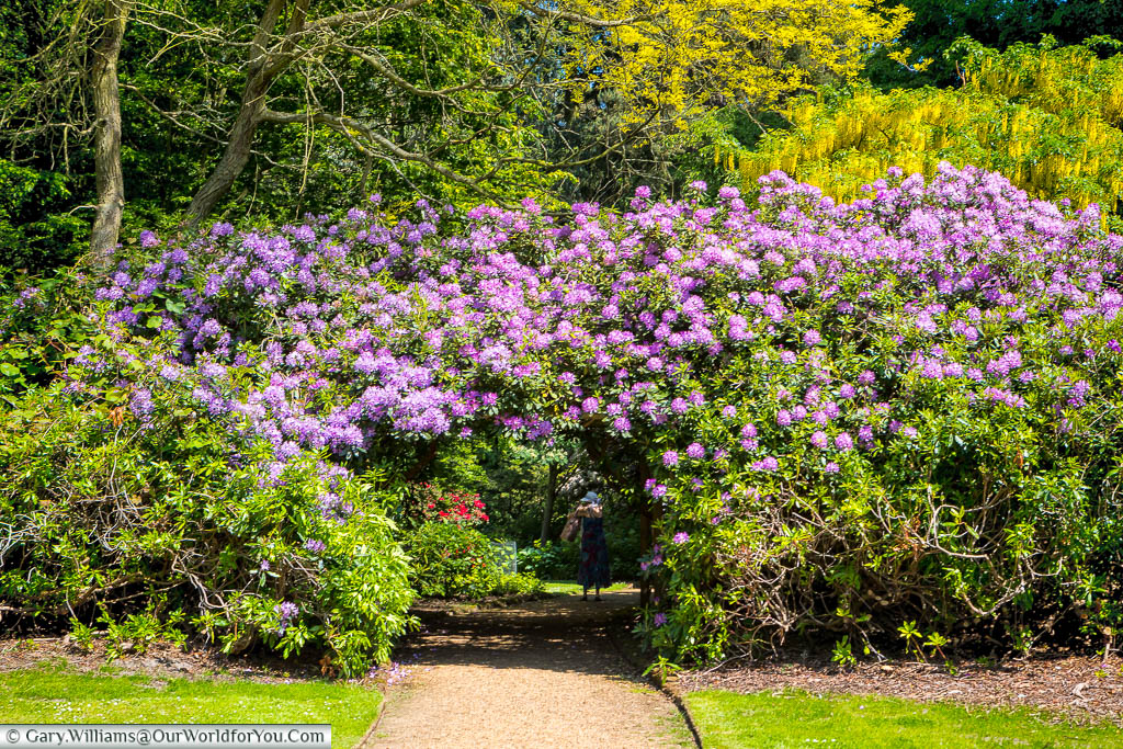 A magnificent purple flowing rhododendron in full flower in the gardens at Sandringham House, Norfolk
