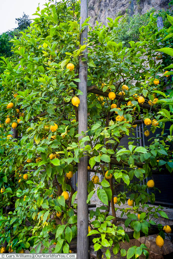 Italian lemons growing fresh on the tree in Limone Sul Garda