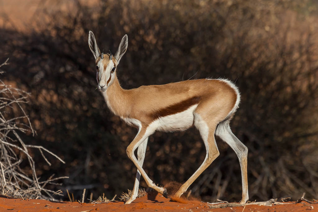 A close up of a young springbok caught on safari in the Kalahari desert in Namibia.