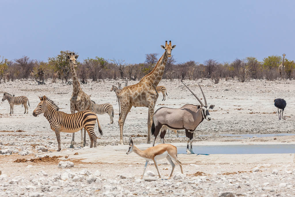 A selection of animals captured on safari at a watering hole in Etosha National park in Namibia in western African