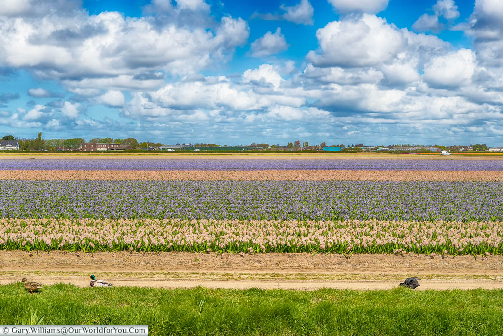 Horizontal bands of tulips growing in a large field, alternating from blush to lavender to pale pink and then purple all under white clouds in a blue sky