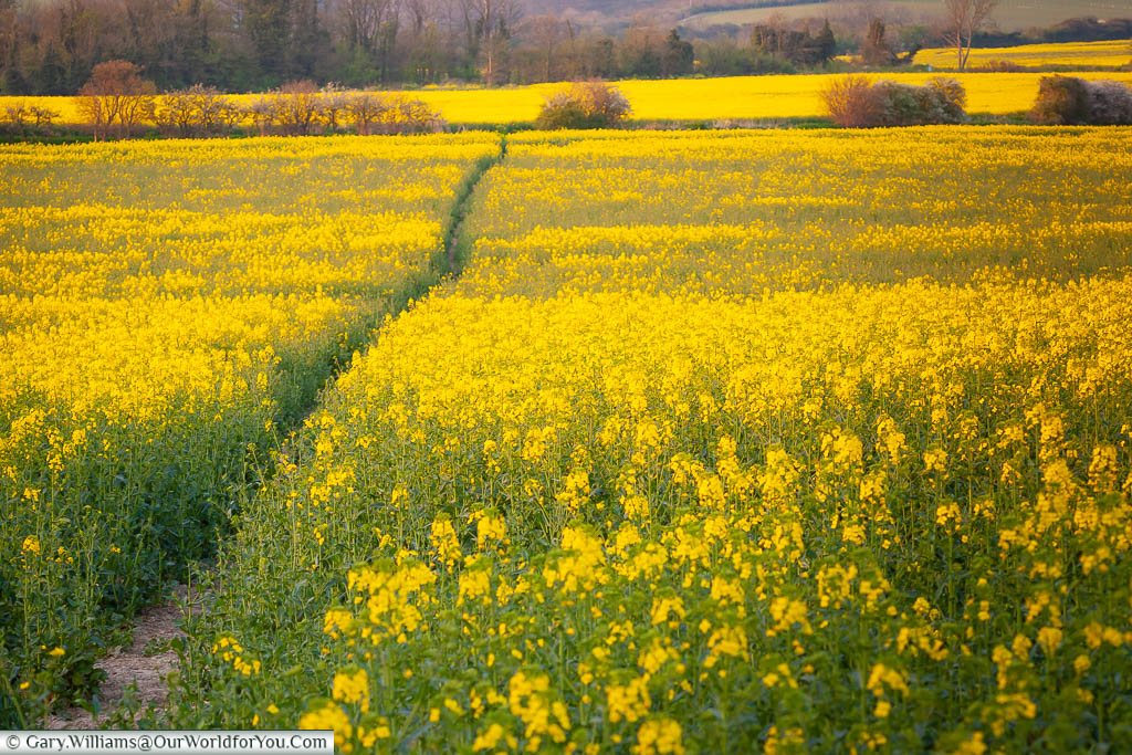 The golden hues of a field of rapeseed in flower in the early evening light