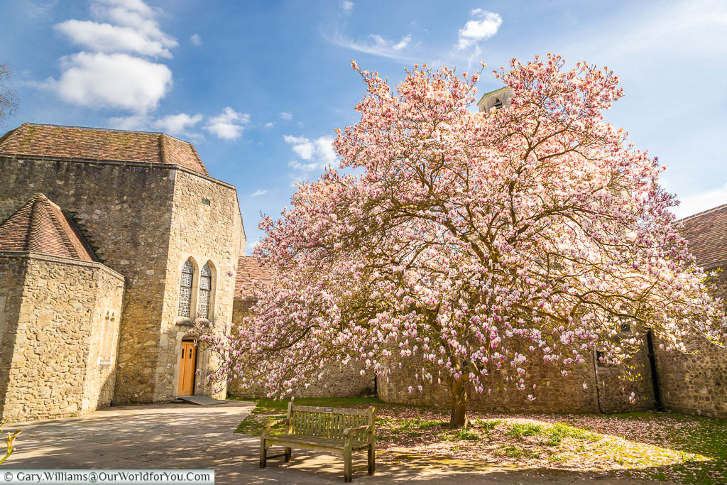 A magnificent specimen of a 300-year-old Magnolia tree in full pink bloom at Aylesford Priory
