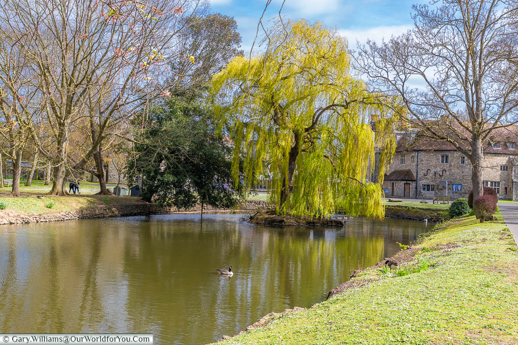 A weeping willow tree on a small island in the centre of the duck pond in Aylesford Priory, Kent