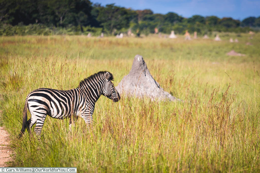A lone zebra walking in the long grass in front of a termite mound in the old riverbed.