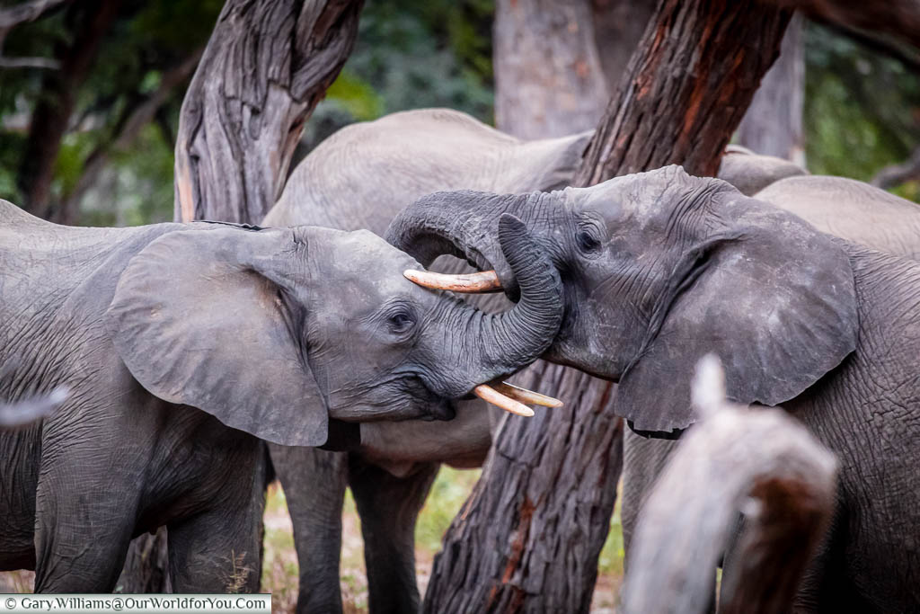 Two young elephants playing within the herd with their trunks are wrapped around each other as they play.
