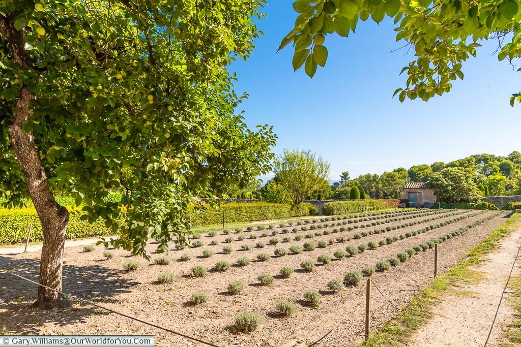 Neat rows of trimmed lavender bushes in the gardens of Saint-Paul de Mausole Monastery, Saint-Rémy-de-Provence, France