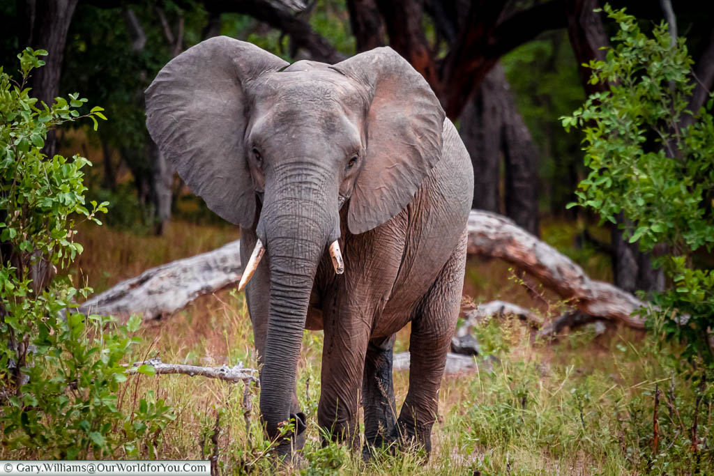 A young elephant, with one broken tusk walking towards us. Its ears are standing out, and it's observing us.