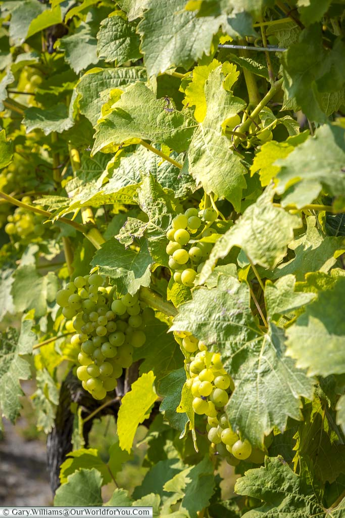 Bunches of Bacchus white grapes on the vine, nearly ready for harvesting in late September or early October.