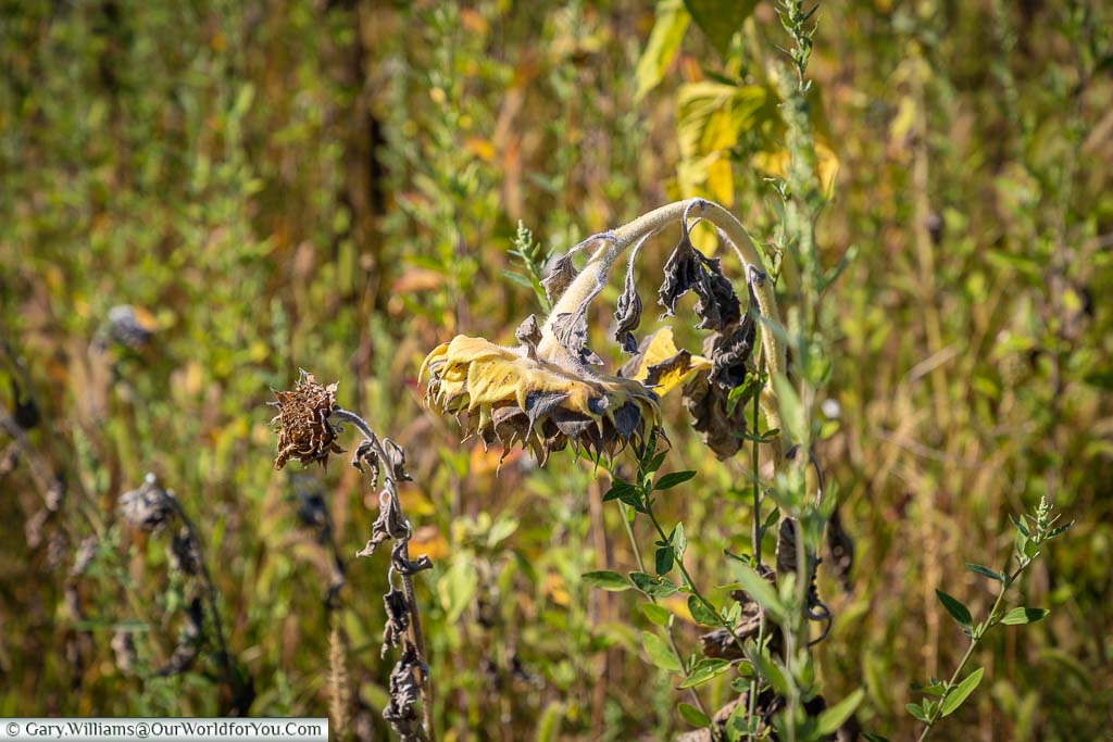 A drying sunflower head, drooping amongst the wildflowers of the garden of the Monastery Saint-Paul de Mausole.