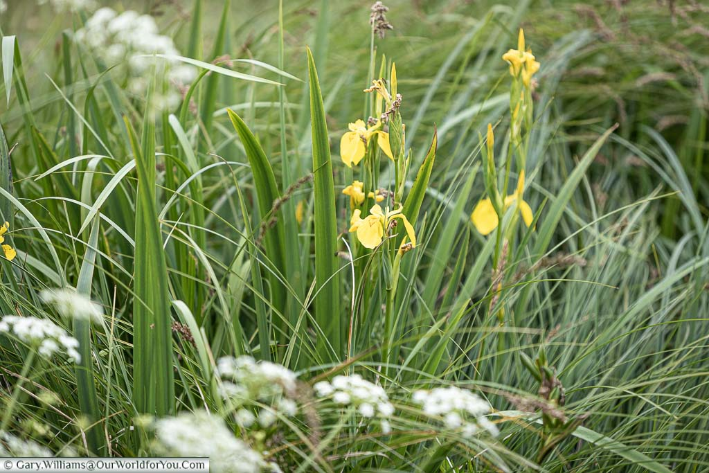 A close up of some yellow flag Iris growing wild at the side of the canal in amongst the grasses of the canal bank.