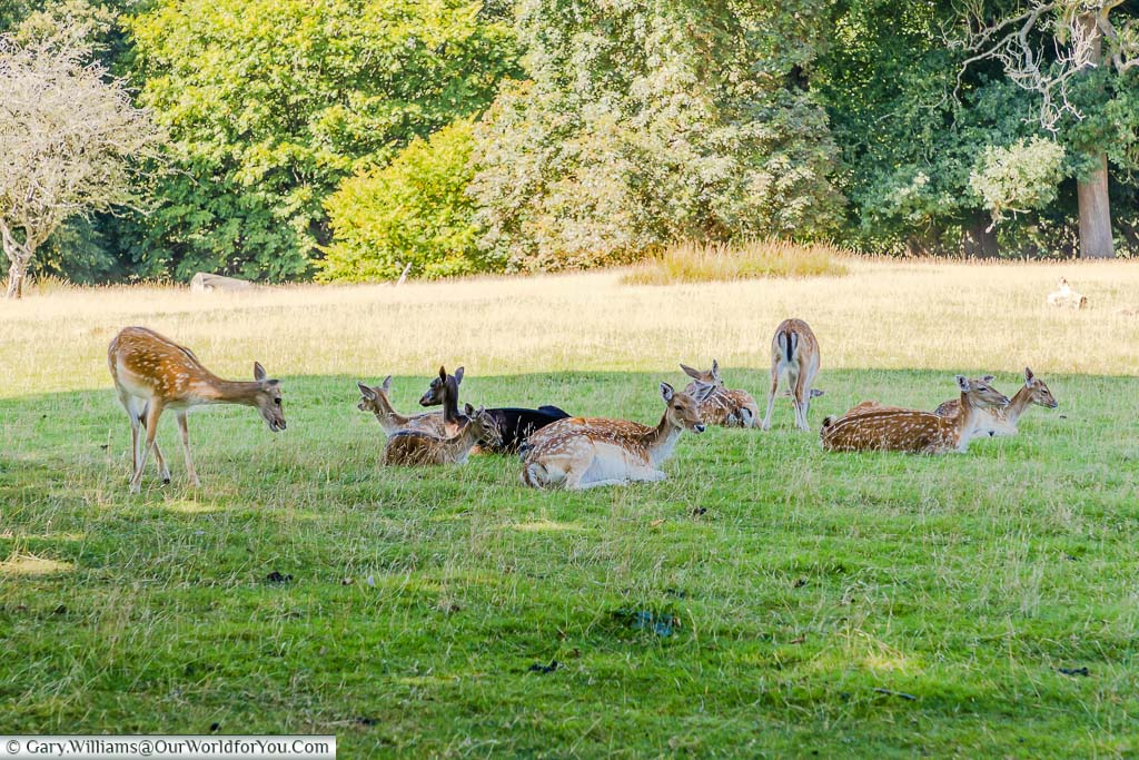 A herd of wild deer resting in the shade in the grounds of Knole